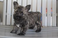 Cairn Terrier Puppies for sale in Canton, OH, USA. price: NA