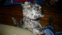 Cairn Terrier Puppies for sale in Berwyn, IL 60402, USA. price: NA