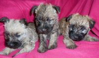 Cairn Terrier Puppies for sale in Boston, MA, USA. price: NA