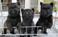 Cairn Terrier Puppies for sale in Cleveland, OH, USA. price: NA