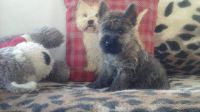 Cairn Terrier Puppies for sale in Washington, DC, USA. price: NA