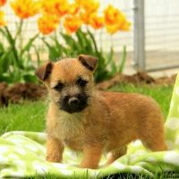 Cairn Terrier Puppies for sale in TX-249, Houston, TX, USA. price: NA