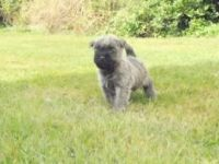 Cairn Terrier Puppies for sale in Dublin, OH, USA. price: NA