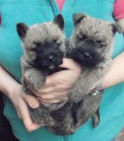 Cairn Terrier Puppies for sale in Houston, TX 77001, USA. price: NA