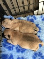 Cairn Terrier Puppies for sale in Pottsboro, TX 75076, USA. price: NA