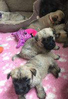 Cairn Terrier Puppies for sale in Birmingham, AL, USA. price: NA