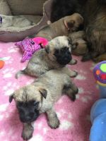 Cairn Terrier Puppies for sale in Anchorage, AK, USA. price: NA
