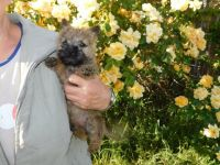 Cairn Terrier Puppies for sale in Crestwood, KY 40014, USA. price: NA