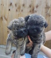 Cairn Terrier Puppies for sale in Los Angeles, CA 90001, USA. price: NA