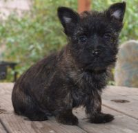 Cairn Terrier Puppies for sale in New York, NY, USA. price: NA