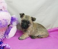 Cairn Terrier Puppies for sale in Sacramento, CA, USA. price: NA
