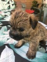 Cairn Terrier Puppies for sale in Cincinnati, OH, USA. price: NA