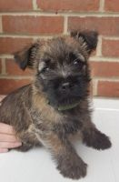 Cairn Terrier Puppies for sale in Detroit, MI, USA. price: NA