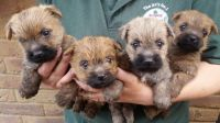 Cairn Terrier Puppies for sale in NJ-17, Paramus, NJ 07652, USA. price: NA