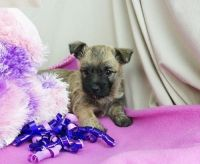 Cairn Terrier Puppies for sale in Fresno, CA, USA. price: NA