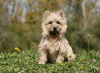 Cairn Terrier Puppies for sale in Manchester, NH, USA. price: NA