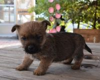 Cairn Terrier Puppies for sale in CA-111, Rancho Mirage, CA 92270, USA. price: NA