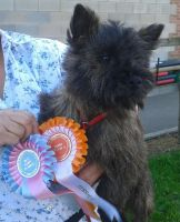 Cairn Terrier Puppies for sale in San Francisco, CA, USA. price: NA