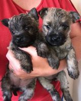 Cairn Terrier Puppies for sale in Austin, TX, USA. price: NA