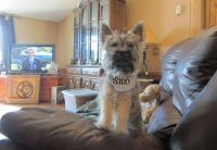 Cairn Terrier Puppies for sale in San Francisco, CA 94133, USA. price: NA