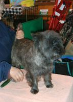 Cairn Terrier Puppies for sale in 103 Broadway, New York, NY 10025, USA. price: NA