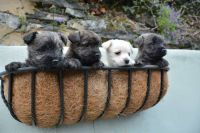 Cairn Terrier Puppies for sale in Indianapolis Blvd, Hammond, IN, USA. price: NA