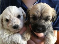 Cairn Terrier Puppies for sale in Indianapolis, IN, USA. price: NA
