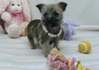 Cairn Terrier Puppies for sale in Houston, TX, USA. price: NA