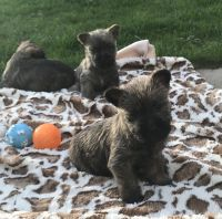 Cairn Terrier Puppies for sale in California St, Huntington Park, CA 90255, USA. price: NA