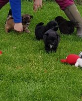 Cairn Terrier Puppies for sale in Michigan City, IN, USA. price: NA