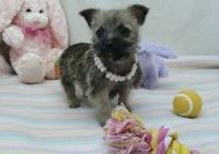 Cairn Terrier Puppies for sale in Grand Rapids, MI, USA. price: NA