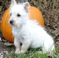 Cairn Terrier Puppies for sale in Hartford, CT 06106, USA. price: NA