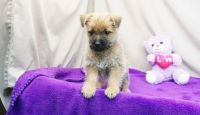 Cairn Terrier Puppies for sale in Columbia, SC, USA. price: NA