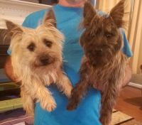 Cairn Terrier Puppies for sale in Taylors, SC, USA. price: NA