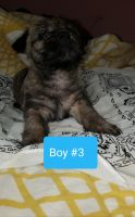 Cairn Terrier Puppies for sale in Lafayette, TN 37083, USA. price: NA
