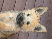 Cairn Terrier Puppies for sale in Herald, CA, USA. price: NA