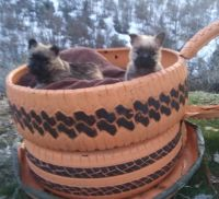 Cairn Terrier Puppies for sale in Redding, CA, USA. price: NA