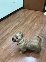 Cairn Terrier Puppies for sale in Reynoldsburg, OH 43068, USA. price: NA