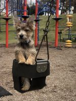 Cairn Terrier Puppies for sale in Falls Church, VA, USA. price: NA