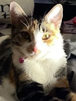 Calico Cats for sale in Orlando, FL, USA. price: NA