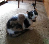 Calico Cats for sale in Arlington, WA, USA. price: NA