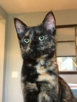 Calico Cats for sale in Winter Garden, FL 34787, USA. price: NA