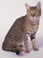 california spangled cat cat