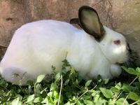 Californian rabbit Rabbits for sale in San Antonio, TX 78260, USA. price: NA