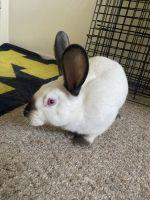 Californian rabbit Rabbits for sale in Canton, MI, USA. price: NA