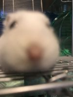 Campbell's dwarf hamster Rodents Photos