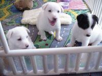 Canaan Dog Puppies for sale in Honolulu, HI, USA. price: NA