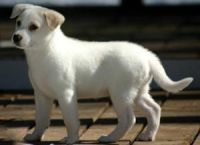 Canaan Dog Puppies for sale in Boise, ID, USA. price: NA