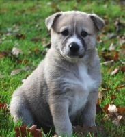 Canaan Dog Puppies for sale in Seattle, WA, USA. price: NA