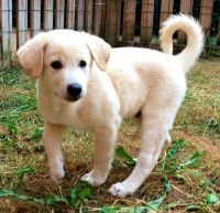 Canaan Dog Puppies for sale in Austin, TX, USA. price: NA